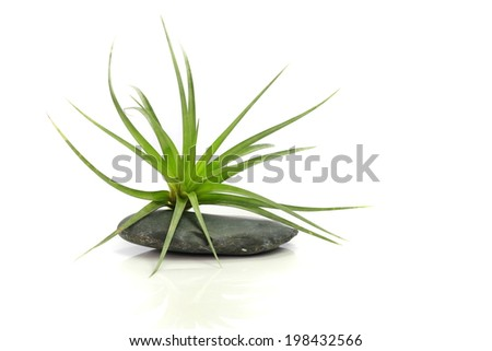 air plant with scientific name Tillandsia, on a isolated white background