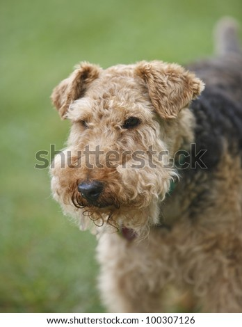 Airedale Terrier - stock photo