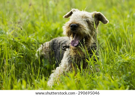 Airedale terrier dog lying on the road in the green grass sunny summer evening. - stock photo