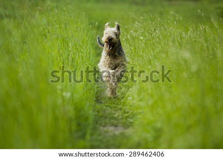 Airedale terrier dog running in the green grass sunny summer evening. - stock photo