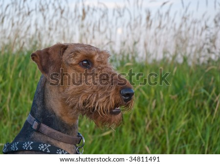 Airedale terrier dog sitting in front of a grassy field.  The image is taken close up in profile. - stock photo