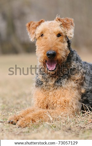 Airedale Terrier laughs happily - stock photo