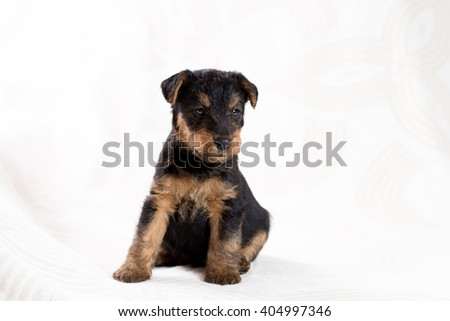 Airedale terrier puppy - stock photo