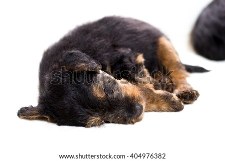 Airedale terrier puppy sleeping  - stock photo