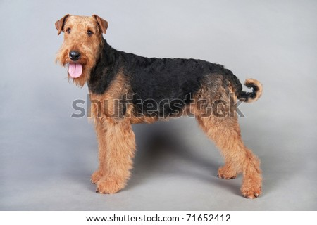 Airedale Terrier standing in front of grey background - stock photo