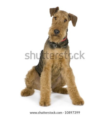Airedale Terrier (1 year) in front of white background - stock photo