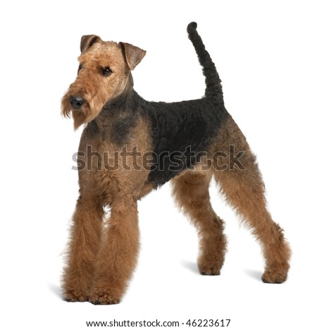 Airedale Terrier, 2 years old, standing in front of white background - stock photo