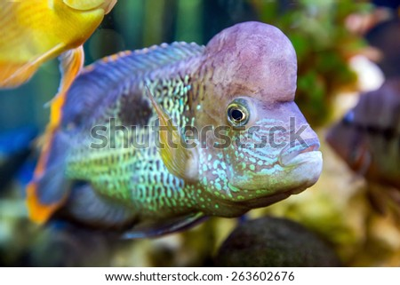 Akara turquoise Cichlid (Cichlasoma) fish swimming in the aquarium - stock photo