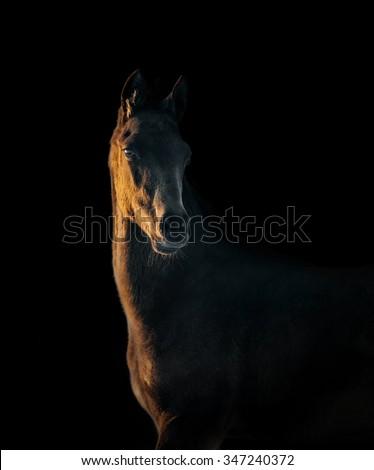 akhal-teke colt portrait on black - stock photo