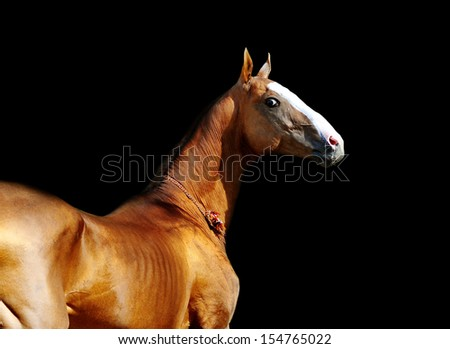 akhal-teke horse on black - stock photo