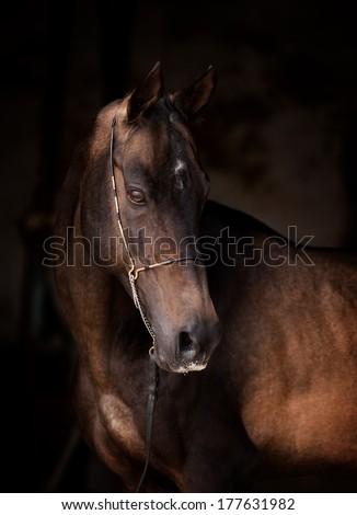 akhal-teke horse portrait - stock photo