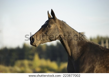 akhal-teke horse portrait in action