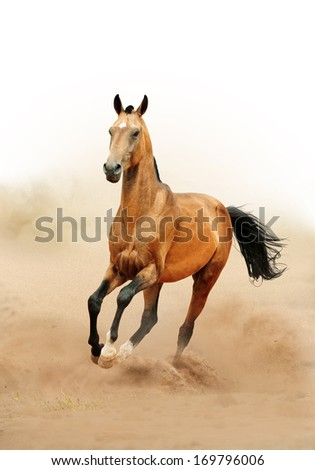 akhal-teke horse running in desert - stock photo