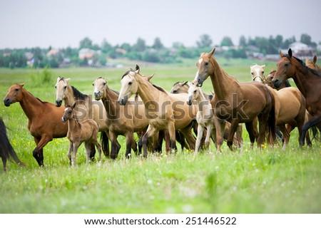 akhal-teke horses herd runs free - stock photo