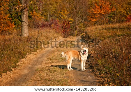 Akita inu dog in the forest - stock photo