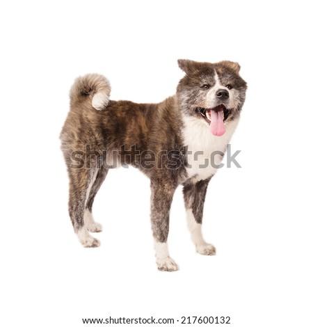 Akita Inu Dog, isolated on a white background - stock photo