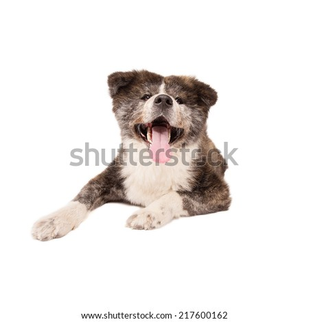 Akita Inu Dog, isolated on a white background