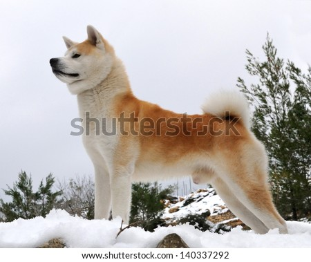Akita Inu dog stand in a forest with snow background.