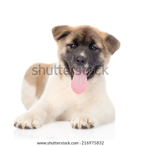 akita inu puppy dog lying in front and looking at camera. isolated on white background - stock photo