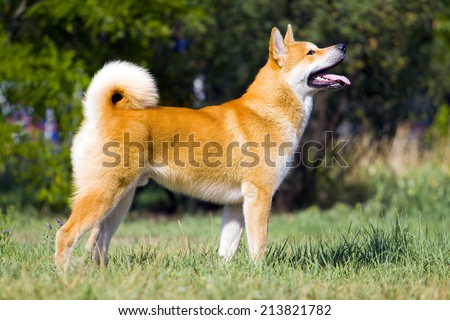 Akita-inu, young dog outdoors - stock photo