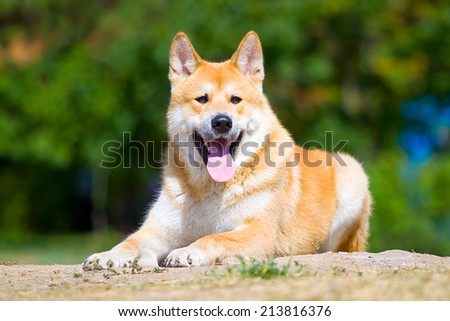 Akita-Inu, young dog portrait outdoors - stock photo