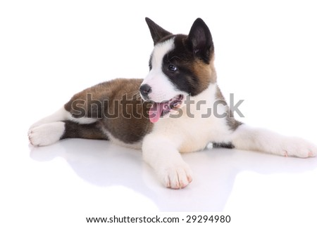 Akita purebred puppy on white background