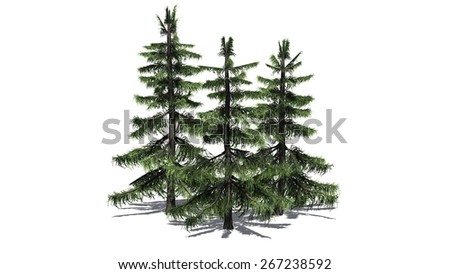 Alaska Cedar tree cluster - isolated on white background - stock photo