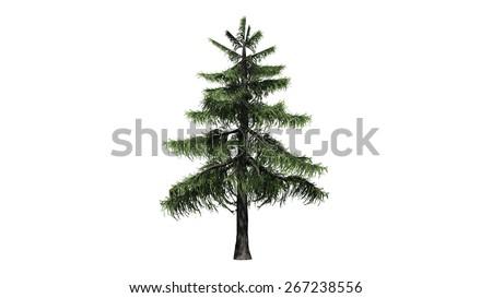 Alaska Cedar tree - isolated on white background - stock photo
