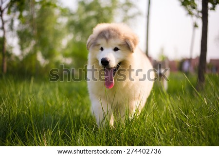 Alaska dog, playing in the grass.