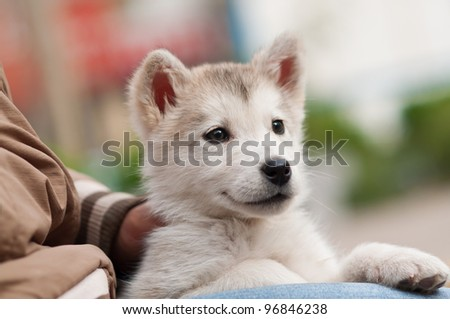 Alaska Puppies - stock photo