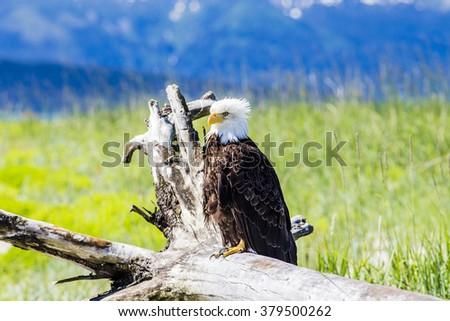 Alaskan Bald Eagle. Juneau, Alaska.  - stock photo