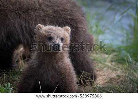 Alaskan brown bear cub along the shore of the Brooks River in Katmai National Park, Alaska