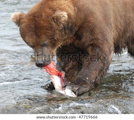 Alaskan Grizzly Bear eating a fresh sockeye salmon