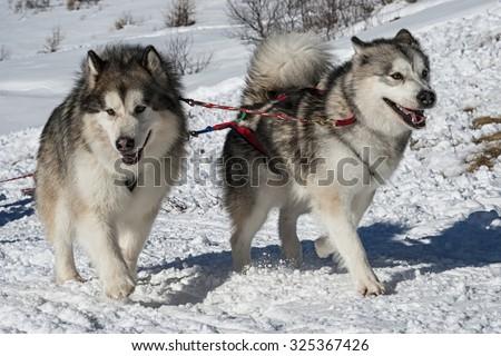 Alaskan Malamute - stock photo