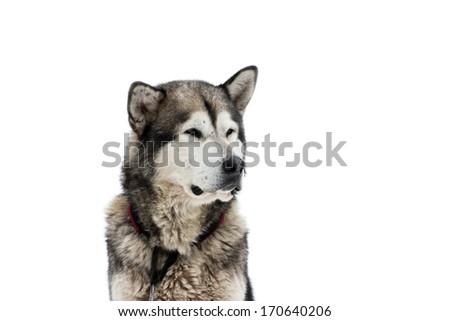 Alaskan Malamute on white background - stock photo