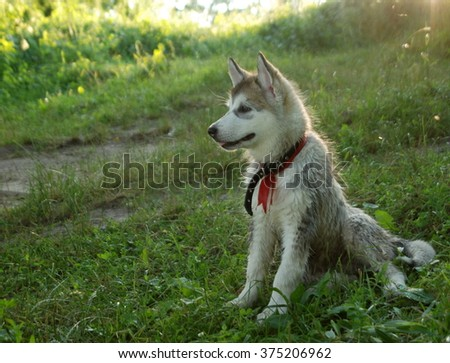 Alaskan malamute puppy - stock photo