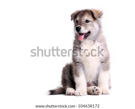 Alaskan malamute puppy against white background - stock photo