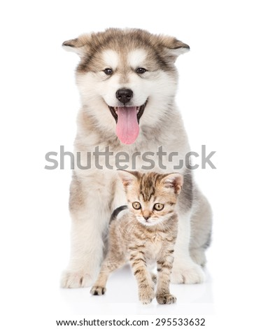alaskan malamute puppy and bengal kitten. isolated on white background - stock photo