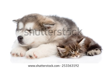 alaskan malamute puppy and maine coon kitten sleeping together. isolated on white background