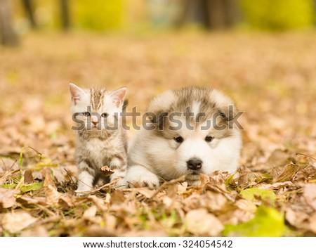Alaskan malamute puppy and scottish kitten lying together in autumn park - stock photo