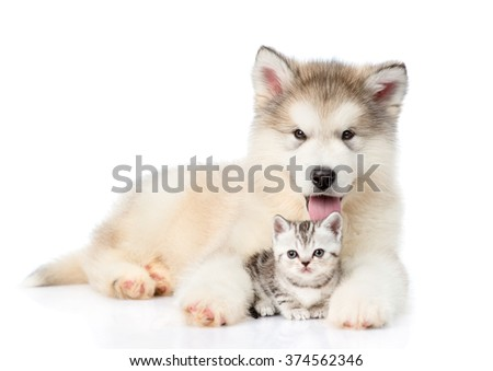 Alaskan malamute puppy embracing tiny kitten. isolated on white background - stock photo