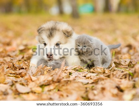 Alaskan malamute puppy hugging two tiny kitten in autumn park - stock photo