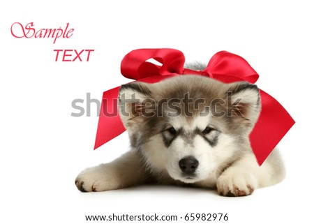 Alaskan malamute puppy with red bow on a white background - stock photo