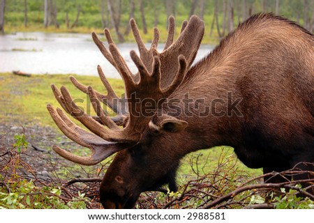 Alaskan Moose - stock photo