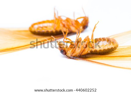 alate or termite white ant on white background - stock photo