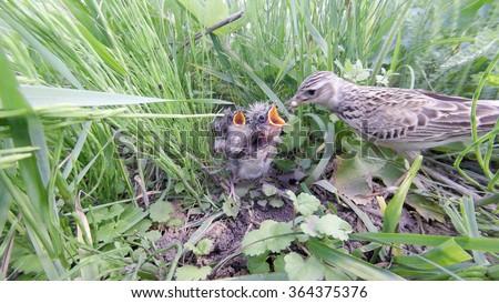 Alauda arvensis. The nest of the Skylark in nature. Russia. Russia, the Ryazan region (Ryazanskaya oblast), the Pronsky District. - stock photo