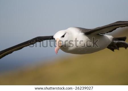 Albatross flying - stock photo