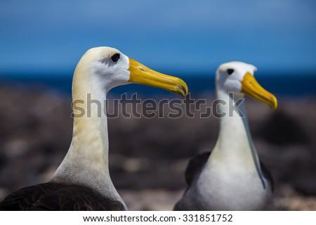 Albatross, Galapagos Islands - stock photo