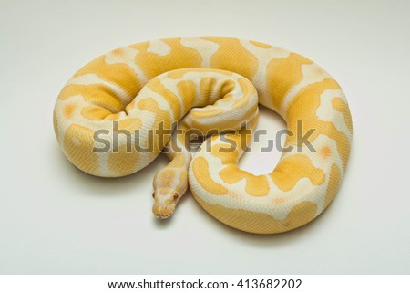 albino ball python - stock photo