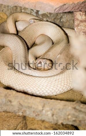 Albino Cobra or Naja kaouthia on The Sand, Thailand - stock photo